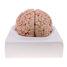Removable 8 Parts Human Brain Lifesize 1:1 Brainstem