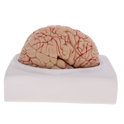 Health Care - Removable 8 Parts Human Brain Lifesize 1:1